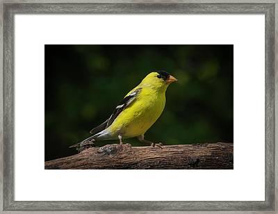 American Goldfinch Male Framed Print