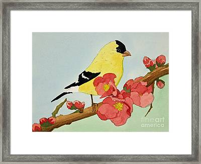American Goldfinch Framed Print by Norma Appleton
