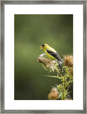 American Goldfinch On A Thistle 2013-2 Framed Print