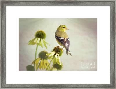 American Goldfinch On Coneflower Framed Print