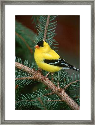 American Goldfinch Framed Print by Raju Alagawadi
