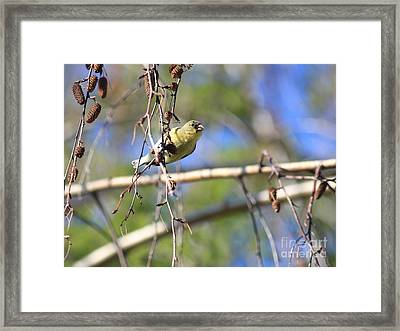 American Goldfinch Framed Print by Wingsdomain Art and Photography
