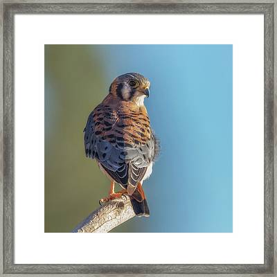 Framed Print featuring the photograph American Kestrel 3 by Angie Vogel