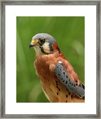 Framed Print featuring the photograph American Kestrel by Ann Bridges