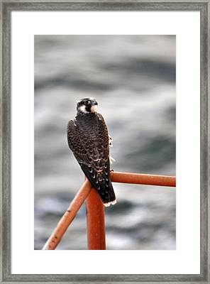 American Kestrel Framed Print by Bill Perry