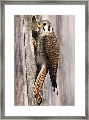 American Kestrel Female At Nest Box Framed Print by Sebastian Kennerknecht