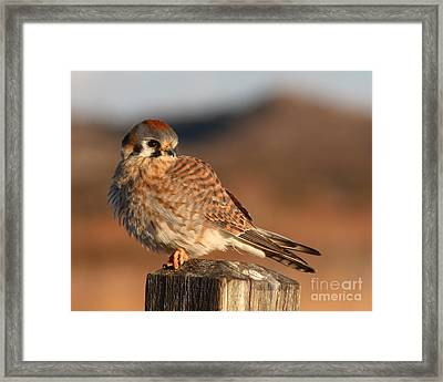 American Kestrel Giving Hunting Stare Framed Print by Max Allen