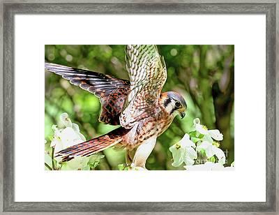 American Kestrel Hawk Framed Print