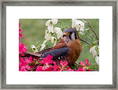 American Kestrel In The Springtime Framed Print