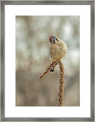 American Kestrel Male On Mullein Framed Print by Dawn Key