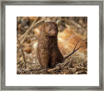 Framed Print featuring the photograph American Mink At Johnson Park by Ricky L Jones