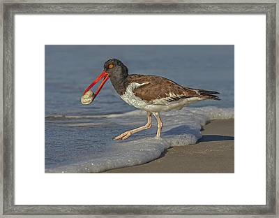 American Oystercatcher Grabs Breakfast Framed Print by Susan Candelario