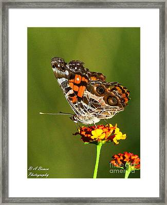American Painted Lady Framed Print