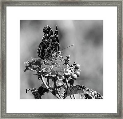 American Painted Lady Bw Framed Print by Norman Johnson