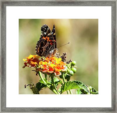 American Painted Lady Framed Print by Norman Johnson