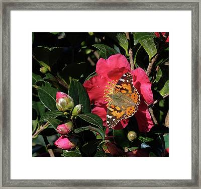 American Painted Lady On Camelia Framed Print
