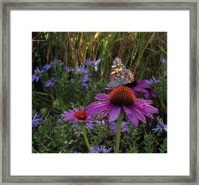 American Painted Lady On Cone Flower Framed Print