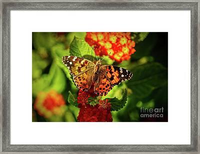 American Painted Lady Framed Print by Robert Bales