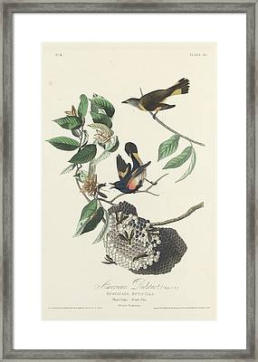 American Redstart Framed Print by Rob Dreyer