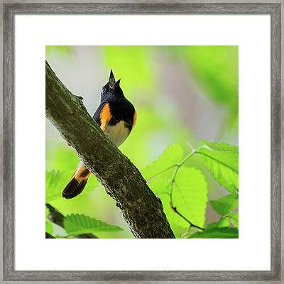 American Redstart Square Framed Print by Bill Wakeley