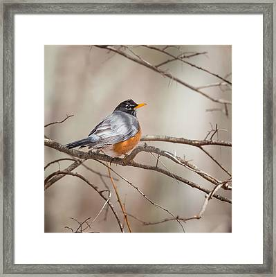 American Robin Framed Print by Bill Wakeley