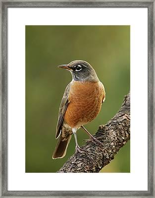 American Robin Framed Print by Doug Herr