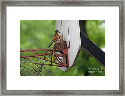 American Robin Feeding Young Framed Print by Kenneth M. Highfill