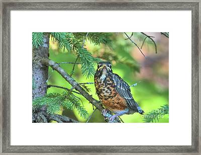 Framed Print featuring the photograph American Robin Fledgling by Debbie Stahre