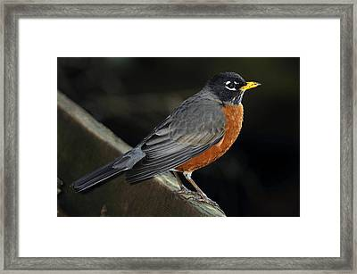 American Robin Framed Print by Laura Mountainspring