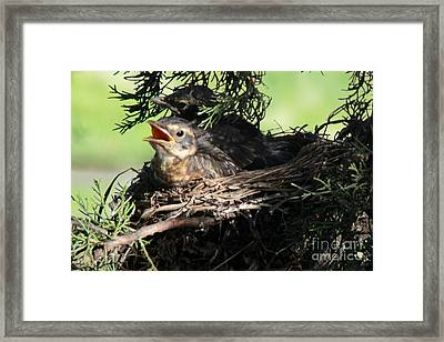 American Robin Nestlings Framed Print by Adam Long