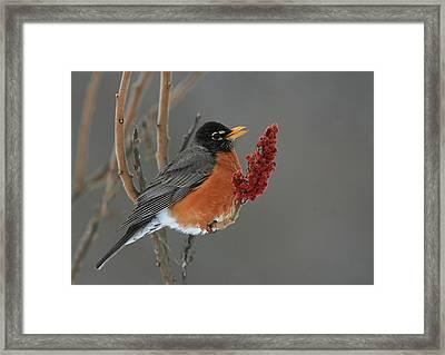 American Robin On Sumac Framed Print