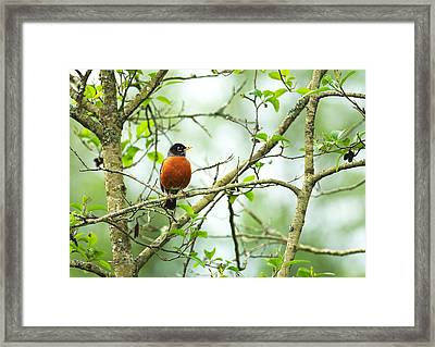 American Robin On Tree Branch Framed Print