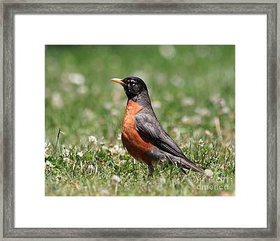 American Robin Framed Print by Wingsdomain Art and Photography