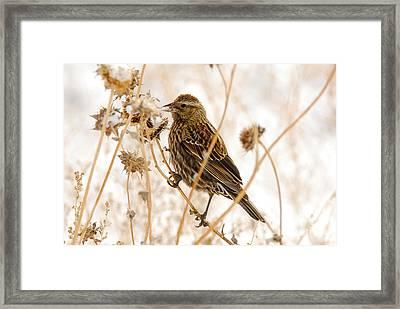 American Sparrow Framed Print by Dennis Hammer