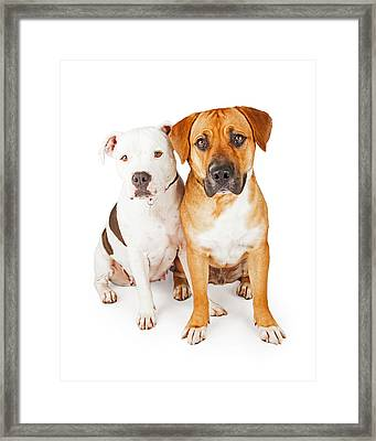 American Staffordshire And Large Mixed Breed Dogs Sitting Togeth Framed Print by Susan Schmitz