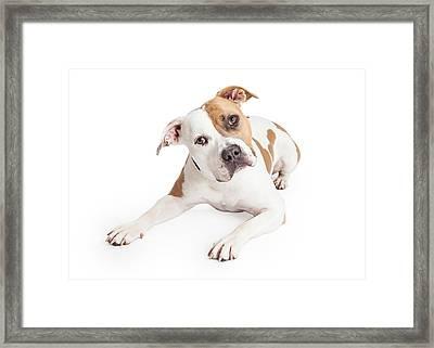American Staffordshire Dog Laying Tilting Head Framed Print