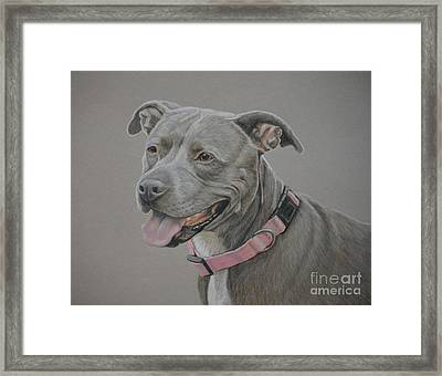 American Staffordshire Terrier Framed Print by Charlotte Yealey