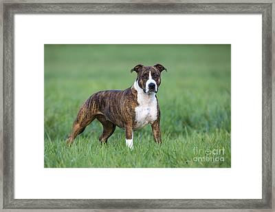 American Staffordshire Terrier Framed Print by Jean-Louis Klein & Marie-Luce Hubert