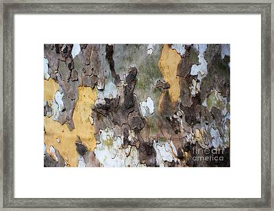 American Sycamore Bark Framed Print by Patti Whitten