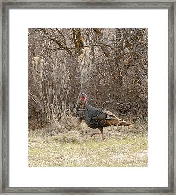 American Tom Turkey Framed Print by Dennis Hammer