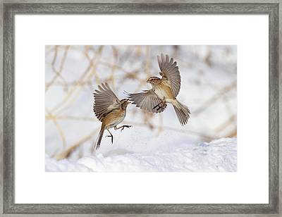 American Tree Sparrows Framed Print by Alina Morozova