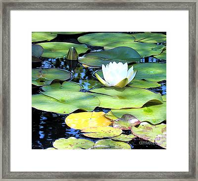 American Water Lilies Four Framed Print