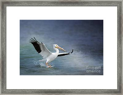 American White Pelican  Framed Print by Bonnie Barry