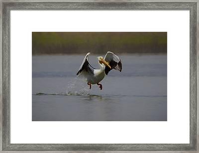 American White Pelican Da 2 Framed Print by Ernie Echols