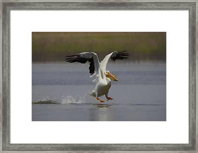 American White Pelican Da 3 Framed Print by Ernie Echols