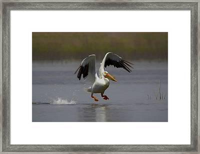 American White Pelican Da 4 Framed Print by Ernie Echols