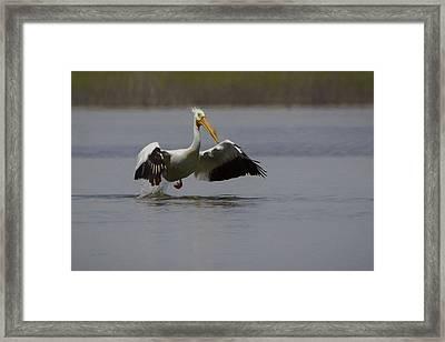 American White Pelican Da Framed Print by Ernie Echols