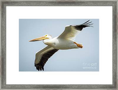 Framed Print featuring the photograph  American White Pelican Flyby  by Ricky L Jones