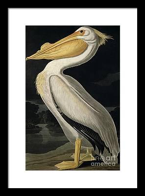 White Pelicans Framed Prints
