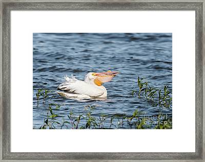 American White Pelican Male Framed Print